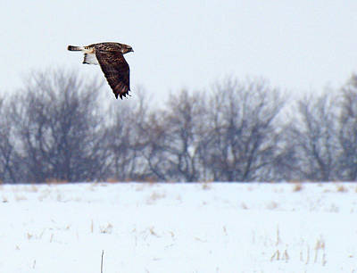 Red Tail Hawk Photograph - On The Prowl 3 by Thomas Young