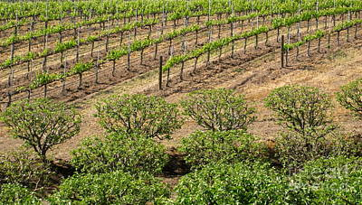 Central Coast Winery Photograph - On The Vine by Maureen J Haldeman
