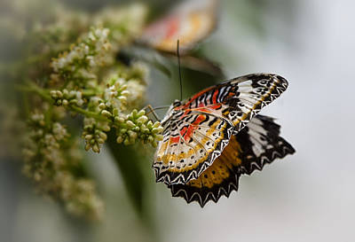 Lacewing Photograph - On The Wings Of A Malay Lacewing  by Saija  Lehtonen