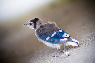 Baby Bluejay Photograph - one day...I will fly by Shane Holsclaw