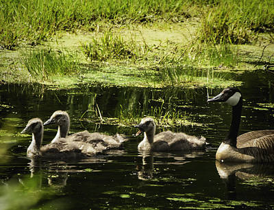 Mother Goose Photograph - One Honk Says It All by Thomas Young