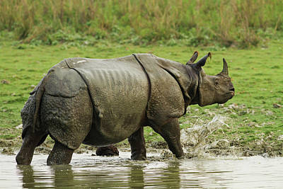 One Horned Rhino Photograph - One-horned Rhinoceros, Coming by Jagdeep Rajput
