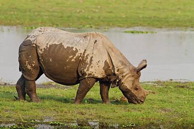 One-horned Rhinoceros Feeding Print by Jagdeep Rajput
