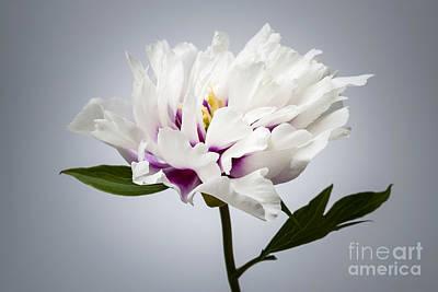 One Peony Flower Print by Elena Elisseeva