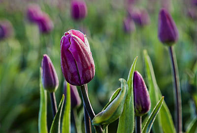 One Tulip Among Many Print by Mary Jo Allen
