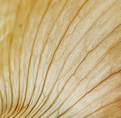 Onion Print by Rick Mosher