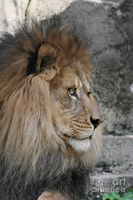 Lion Photograph - Onyo #17 by Judy Whitton