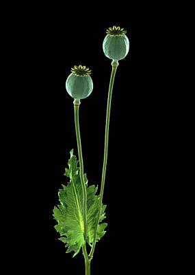 Opium Poppy (papaver Somniferum) Print by Gilles Mermet
