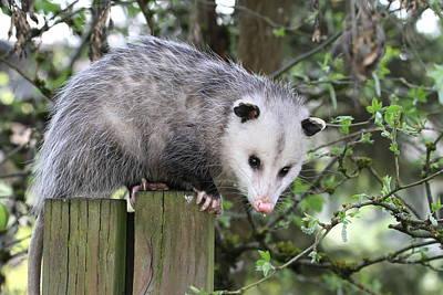 Opossum Photograph - Opossum 2 by Angie Vogel