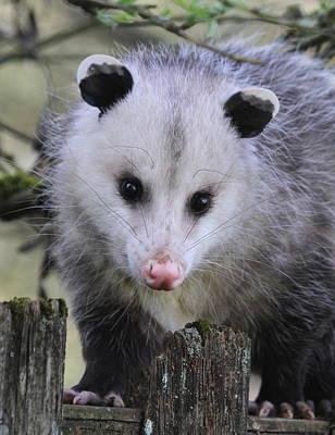 Opossum Photograph - Opossum by Angie Vogel