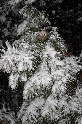 Opossum Photograph - Opossum In The Pines by Michael Eingle