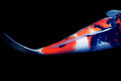 Goldfish Photograph - Orange And Black Tail Koi 2 by Rebecca Cozart