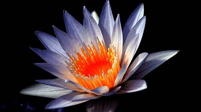 Orange And Blue Lily. Print by Rob Luzier