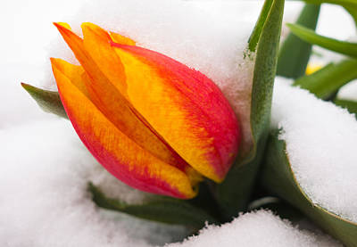 Orange And Red Tulip In The Snow Print by Matthias Hauser