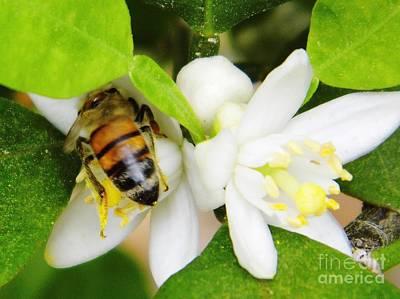 Nature Photograph - Orange Blossom - Honeybee - Pollen by D Hackett