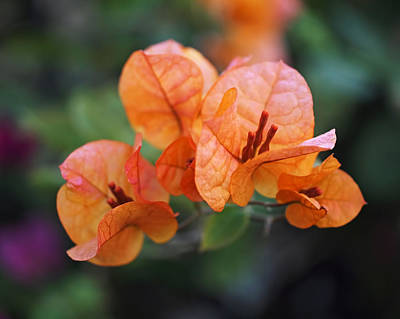 Orange Bougainvillea Print by Rona Black