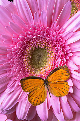 Orange Butterfly On Pink Daisy Print by Garry Gay