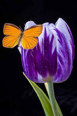 White Tulip Photograph - Orange Butterfly On Purple Tulip by Garry Gay