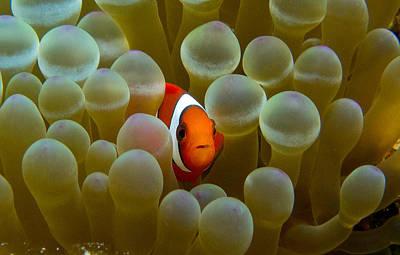 Clarks Anemonefish Photograph - Orange Clownfish In Yellow Anemone by Gary Hughes