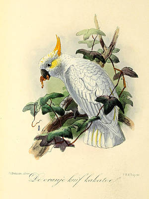 Orange Cockatoo Print by J G Keulemans