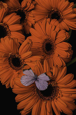 Gerbera Daisy Photograph - Orange Daisy With Butterfly by Garry Gay