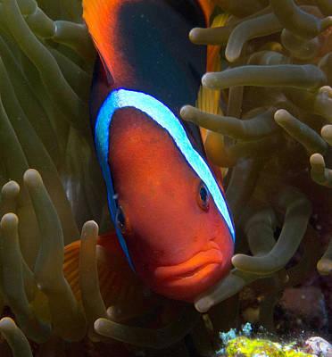 Clarks Anemonefish Photograph - Orange Face Anemonefish by Gary Hughes