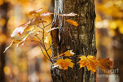 Orange Fall Maple Print by Elena Elisseeva