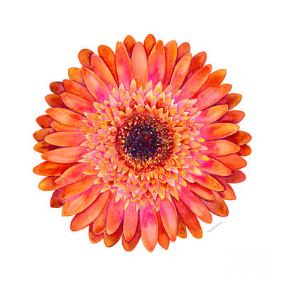 Orange Gerbera Daisy Print by Amy Kirkpatrick