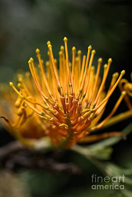 Orange Grevillea Print by Joy Watson