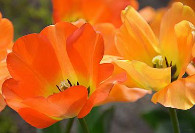 Two Tulips Print by JoAnn Lense