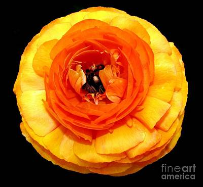 Buffalo Photograph - Orange Ranunculus by Rose Santuci-Sofranko