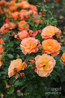 Orange Roses Print by Carol Groenen