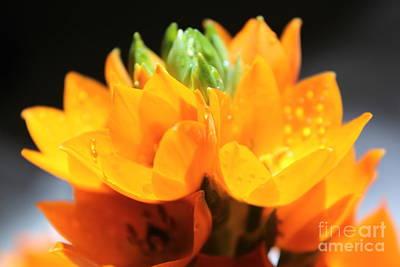 Orange Star Print by Krissy Katsimbras