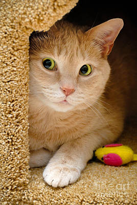Orange Tabby Cat In Cat Condo Print by Amy Cicconi