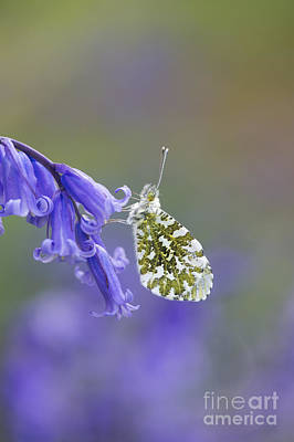 English Countryside Photograph - Orange Tip Butterfly by Tim Gainey