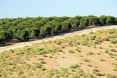 Orange Trees Near Bakersfield Print by Ashley Cooper