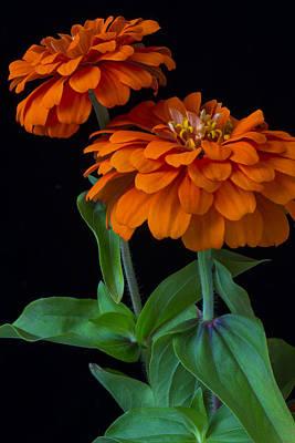 Orange Zinnia Print by Garry Gay