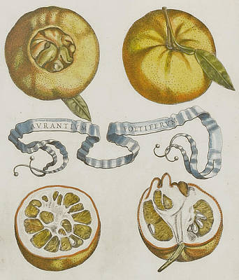 Oranges Print by Cornelis Bloemaert