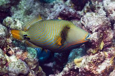 Orangestriped Triggerfish Print by Science Photo Library