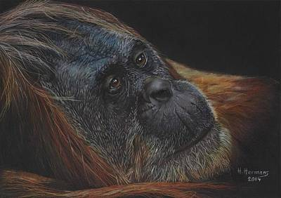 Orangutan Drawing - Orangutan by Hendrik Hermans