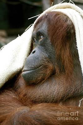 Orangutan Mixed Media - Orangutan by Louise Fahy