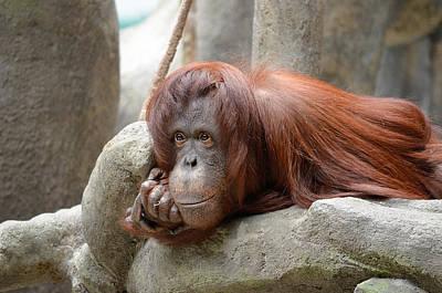 Genus Photograph - Orangutans Day by Julie Palencia