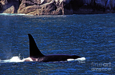 Orca Surfacing Print by Thomas R Fletcher
