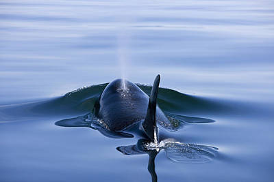 Orca Whale Surfaces In Lynn Canal Print by John Hyde