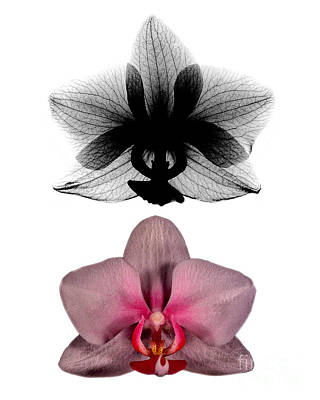 Orchid And Its X-ray Print by Bert Myers