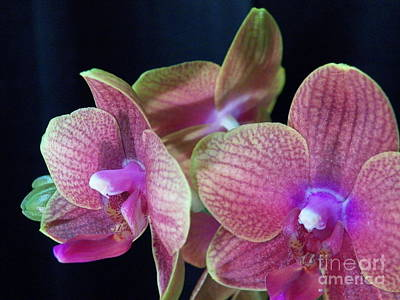 Orchid 2 Print by Judy Via-Wolff