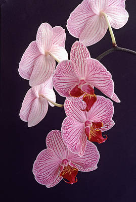 Orchid Cascade Original by Bill Morgenstern