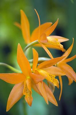 Orchid (cattleya Sp.) Print by Science Photo Library