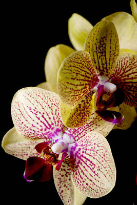 Orchid Print by Ivete Basso Photography