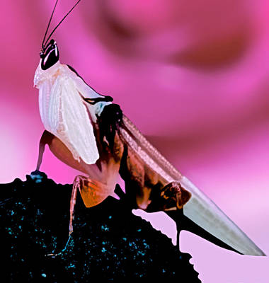 Orchid Male Mantis In Front Of Red Rose Print by Leslie Crotty